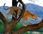 Obrázek - Gepard