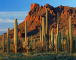 Obrázek - Arizona a kaktusy