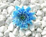 Obrázek - Modrý květ na bílých kamenech