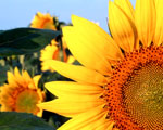 Obrázek - Květ slunečnice v detailu na PC