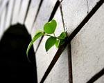 Obrázek - Rostlina na fasádě