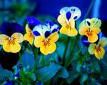 Obrázek - Žlutomodré macešky
