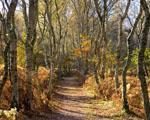 Obrázek - Břízový háj v podzimním čase