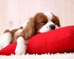 Obrázek - Ospalé roztomilé štěňátko