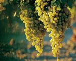 Obrázek - Bílé hroznové víno