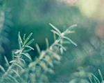 Obrázek - Smrková větev v detailu
