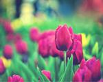 Obrázek - Překrásný den jako tulipán