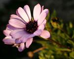 Obrázek - Nádherný růžovy květ rostliny