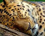 Obrázek - Spící mladý Leopard