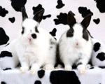 Obrázek - Černobílí králíci před černobílým pozadím