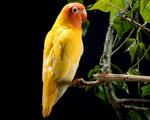 Obrázek - Žlutý papoušek pro Váš monitor