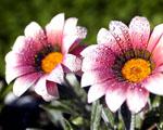 Obrázek - Dva krásné květy v ranním světle