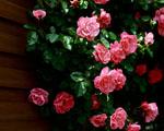 Obrázek - Krása růží