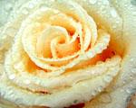 Obrázek - Sněhobílý květ růže