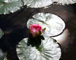 Obrázek - Mladý květ leknínu
