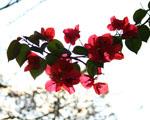 Obrázek - Nádherné růžovočervené květy stromu