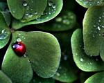 Obrázek - Beruška mezi kapkami rosy