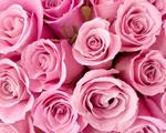 Obrázek - Speciální růžové růže