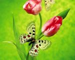 Obrázek - Tulipány s motýlkem