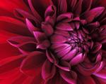 Obrázek - Překrásná tmavě červená květina