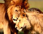 Obrázek - Lev s lvicí