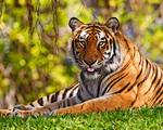 Obrázek - Tygr