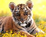 Obrázek - Malý tygřík