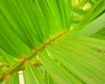 Obrázek - Palmový list