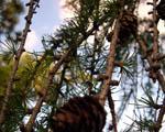 Obrázek - Šišky na větvích v detailu