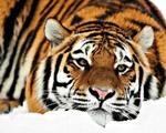 Obrázek - Tygr ve sněhu