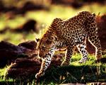 Obrázek - Gepard na lovu