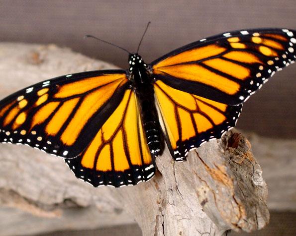 Volba: tapeta v rozlišení 1280 x 1024 - Zbarvený motýl