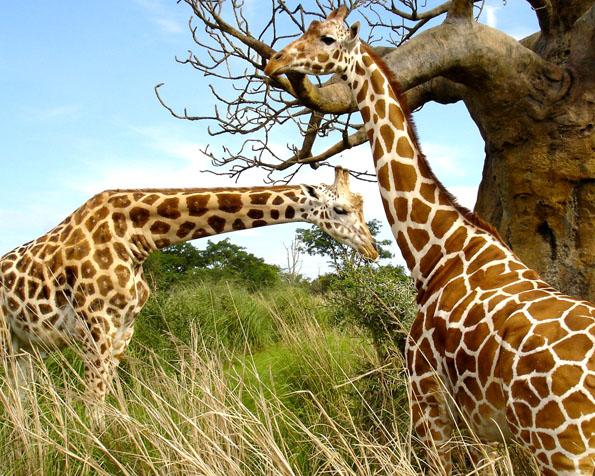 Volba: tapeta v rozlišení 1280 x 1024 - Máma žirafa s dcerou