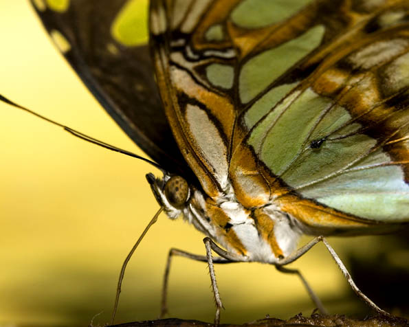 Obrázek na plochu v rozlišení 1280 x 1024 - Pan motýl v detailu