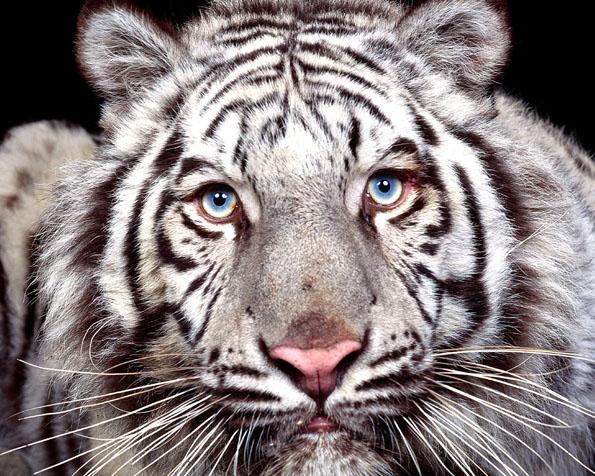 Obrázek na plochu v rozlišení 1280 x 1024 - Bílý tygr v detailu
