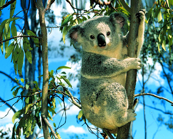 Volba: tapeta v rozlišení 1280 x 1024 - Medvídek Koala na stromě