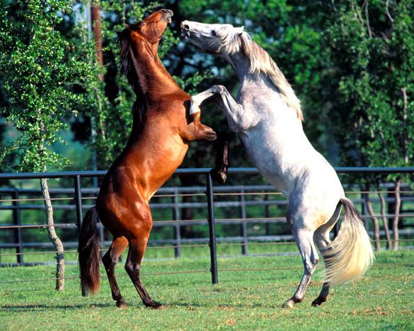 Obrázek na plochu v rozlišení 1280 x 1024 - Souboj dvou koní