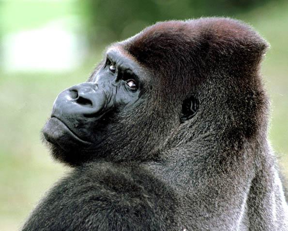 Obrázek na plochu v rozlišení 1280 x 1024 - Gorila zezadu
