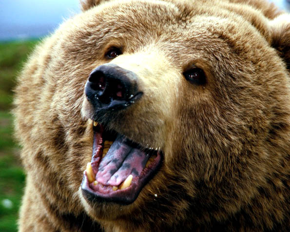 Volba: tapeta v rozlišení 1280 x 1024 - Rozzuřený medvěd