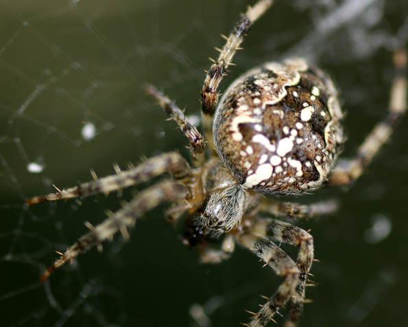 Volba: tapeta v rozlišení 1280 x 1024 - Pavouk v detailu