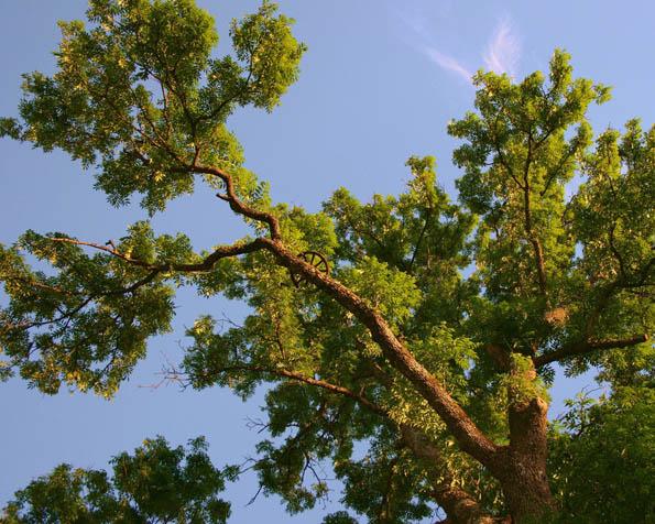 Obrázek na plochu v rozlišení 1280 x 1024 - Koruna stromu