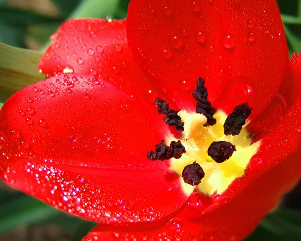 Volba: tapeta v rozlišení 1280 x 1024 - Otevřený květ máku