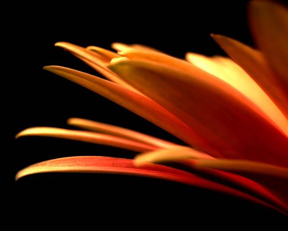 Volba: tapeta v rozlišení 1280 x 1024 - Krása jedné květiny