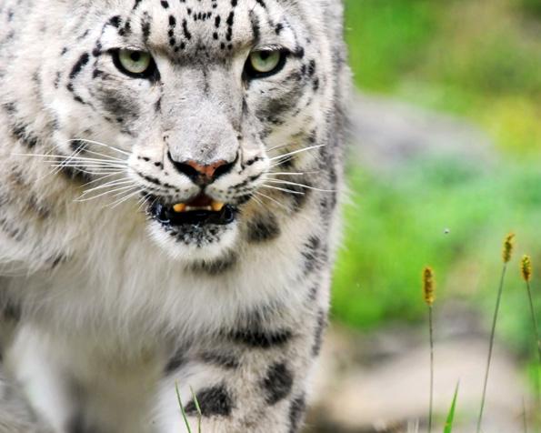 Obrázek na plochu v rozlišení 1280 x 1024 - Neuvěřitelný záběr na bílého tygra