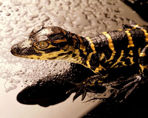 Volba: tapeta v rozlišení 1280 x 1024 - Malý krokodýl