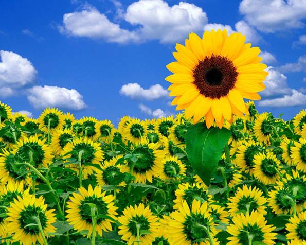 Volba: tapeta v rozlišení 1280 x 1024 - Malá slečna slunečnice