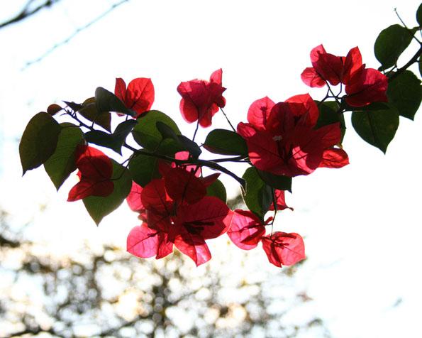 Obrázek na plochu v rozlišení 1280 x 1024 - Nádherné růžovočervené květy stromu