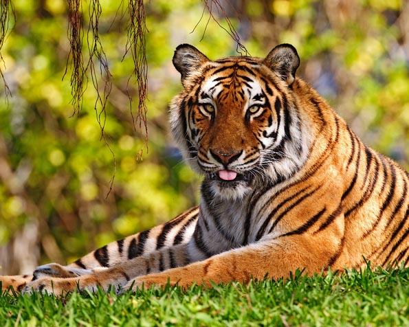 Obrázek na plochu v rozlišení 1280 x 1024 - Tygr