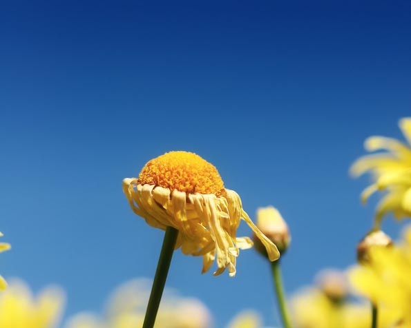 Volba: tapeta v rozlišení 1280 x 1024 - Zvadlá květinka